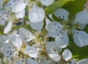 Ağaç çiçeği
