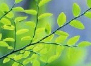 Ağaç Dalı