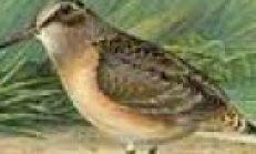 Çulluk Kuşu