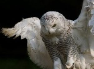Erkek Baykuş