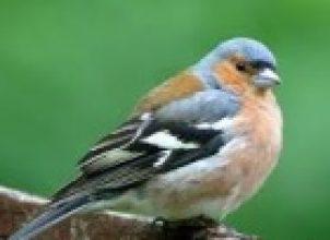İspinoz Kuşu