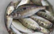 İzmarit Balığı