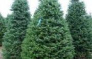 Köknar Ağacı