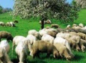 Koyun Gütmek