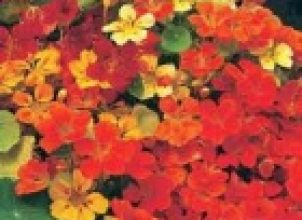 Latin Çiçeği