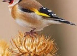 Saka kuşu