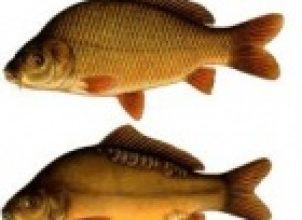 Sazan Balığı