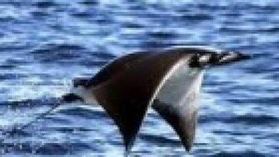 Vatoz Balığı