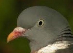 Yabani Güvercin