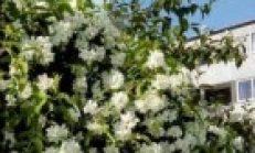 Yasemin Ağacı