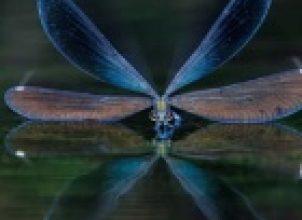 Yusufçuk Kuşu
